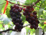 堅持套袋自然農法種植的大村葡萄預計六月初採收請提早預訂
